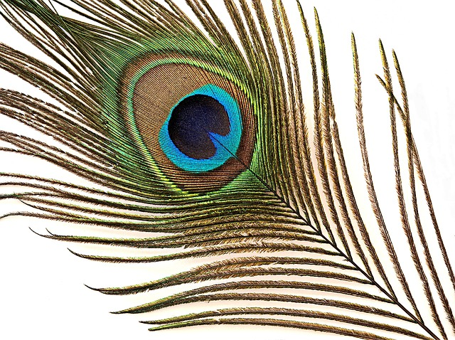 plumas de pavo real 3