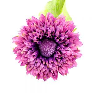Flor Scarlet 9 cm buganvilla