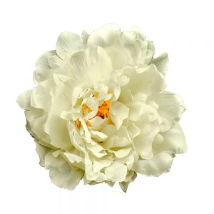 PEONÍA AMBER 14 CM blanco