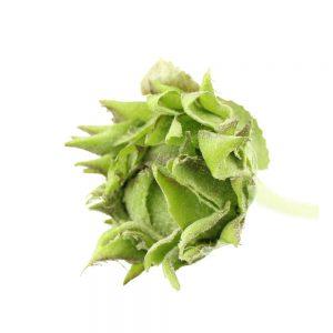 capullo flor cerrada verde