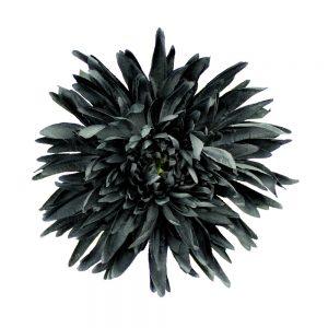 flor crisantemo negro